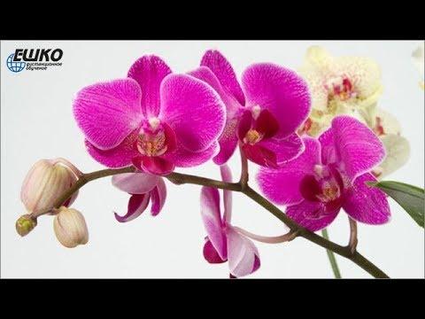 Орхидея - экзотические цветы