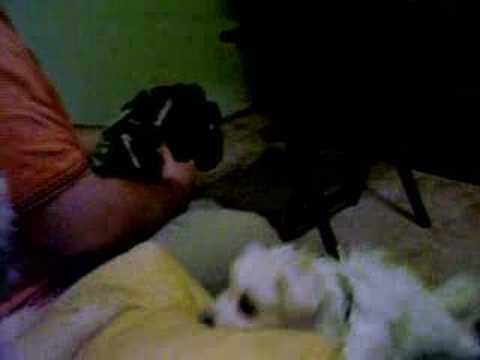 Lola the attack pug & Rando the new Mini American Eskimo