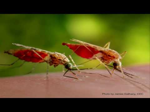 Of mosquitoes, rice and man, in a time of prospective malaria eradication