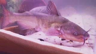 Wild channel catfish