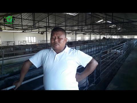 pig farming in Nepal   farmer story  largest pig farm in nepal
