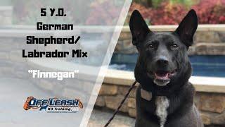 GERMAN SHEPHERD  LAB MIX / DOG TRAINING