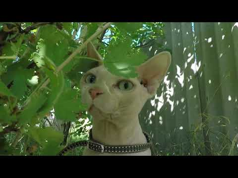 Funny cat walking outside, walking with my cat. SPHYNX