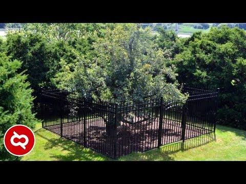 Sangat Berjasa Bagi Kehidupan..! 10 Pohon Tertua yang Menjadi Saksi Bisu Peradaban Manusia