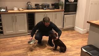 Teaching steadiness & wait to a working cocker spaniel puppy dog