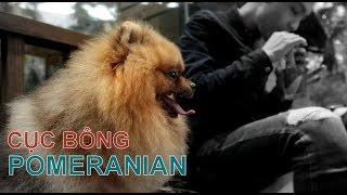 Phần 1: Chó POMERANIAN - Phốc Sóc - đáng yêu vô cùng/Chó đẹp/NhamTuatTV