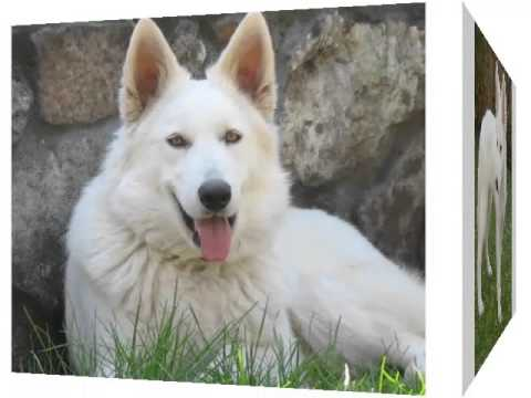 White German Shepherd Puppies Picture Collection And Ideas Youtube