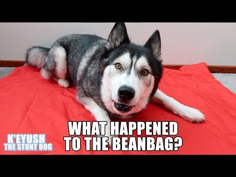 Husky Argues Over Who Broke The Beanbag!