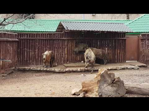 A group of Sichuan takins and their enclosure