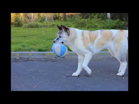 American Akita's Got Talent
