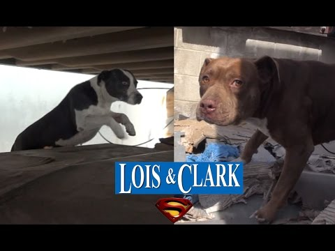 Saving Lois and Clark - two homeless Pit Bulls living in a truck yard - Please share.