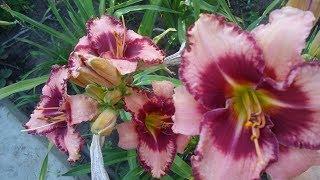 ЛИЛЕЙНИК (daylilies) -