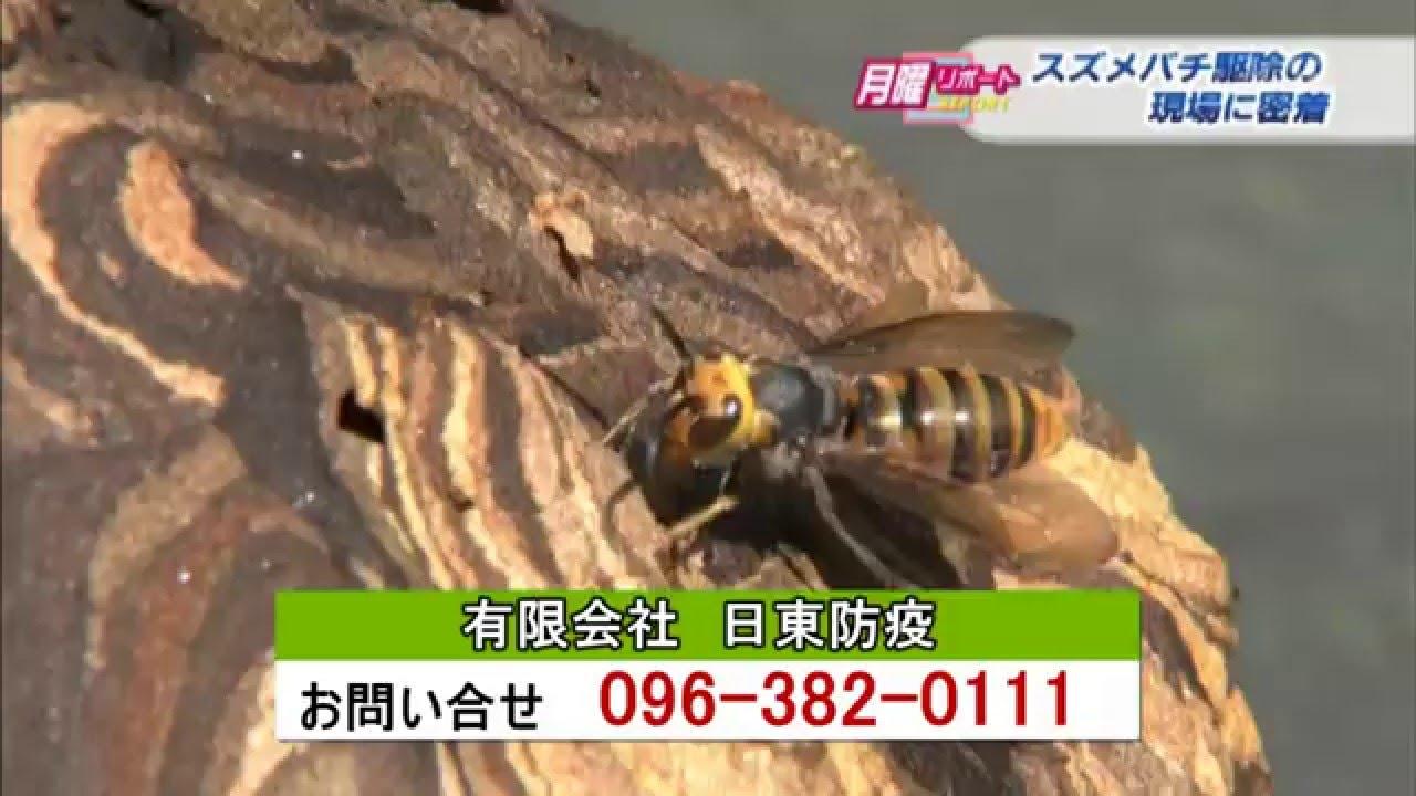 熊本スズメバチ駆除取材 有限会社日東防疫 熊本朝日放送 くまパワ ショートバージョン