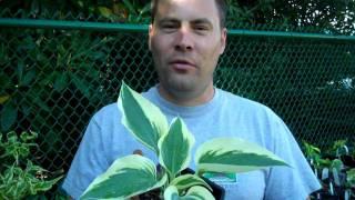 Duke Gardens Plant+Craft Fest preview: Hostas
