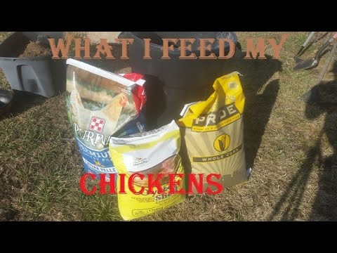 How to keep chickens laying
