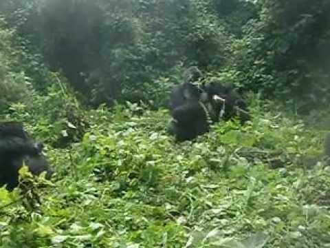Agashya Mountain Gorillas may 2012