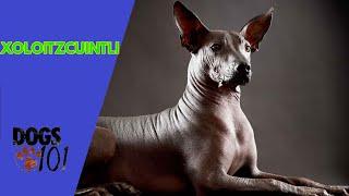 Dog 101 Xoloitzcuintli