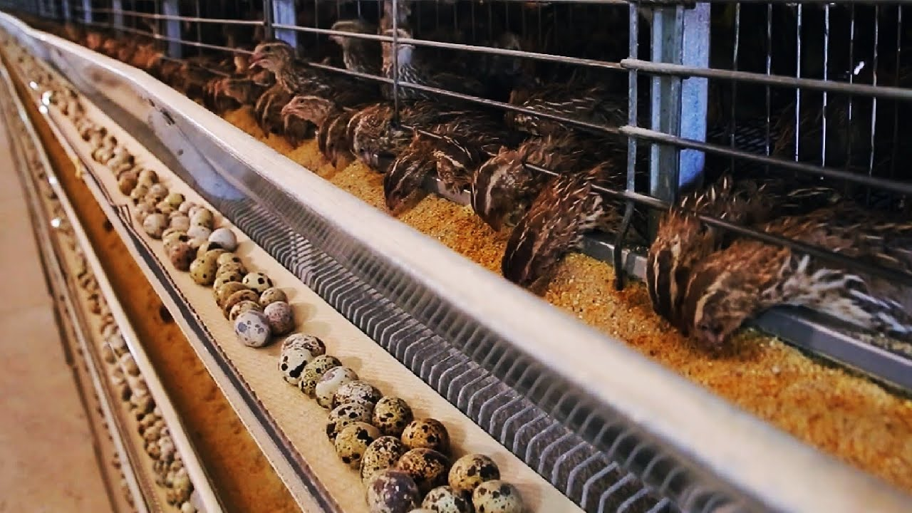 How Quail Farm Make Million Eggs and Meat - Inside Modern Quail Farm - Quail Meat Processing
