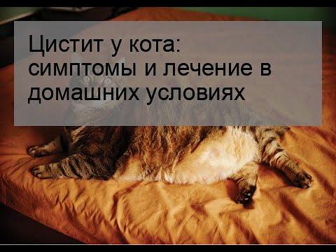 Цистит у кошек лечение в домашних условиях лечение