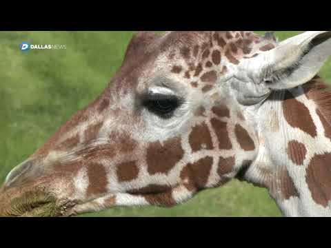 African Savanna is latest attraction at Fort Worth Zoo