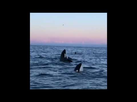 Josh Busch - Orcas in Norwegian Waters