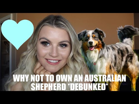 WHY NOT TO OWN AN AUSTRALIAN SHEPHERD//  DEBUNKED