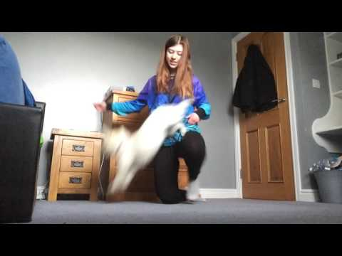 Louby the Westie - Dog Tricks