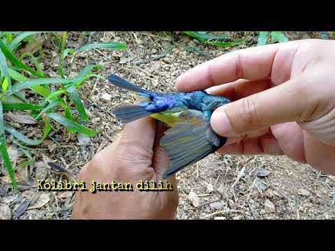 Burung Kolibri Kelapa, Pengesahan Jantina Burung Kolibri