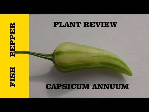 ⟹ Fish Pepper | Capsicum Annuum