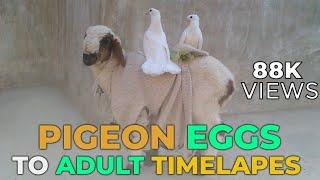 White Fan Tail Pigeon Time Lapse from Eggs To Grown | laka kabootar | کبوتر | Kabootar bazi