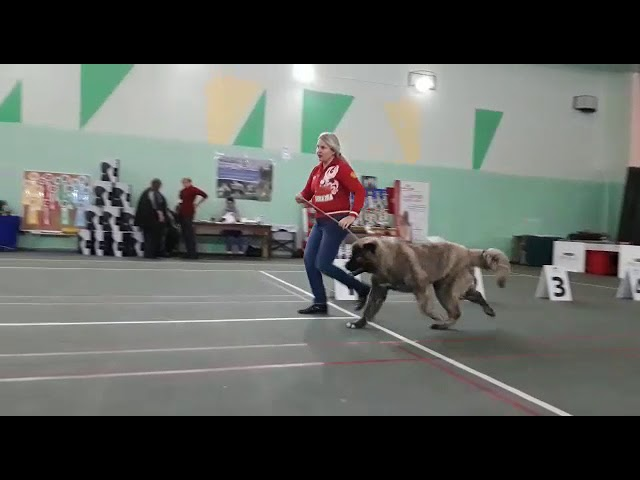 Female Ledi for sale, caucasian ovcharka (mountain dogs) kennel