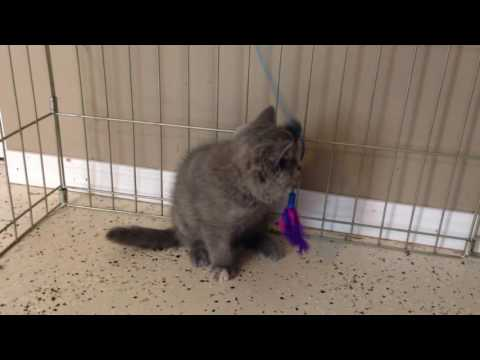 Exotic Shorthair Kittens by Exotic Dit-Dots..Little Mis Hooters