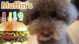 MUFFIN首次吃漢堡包?有膠味!Funny Muffin dog #1