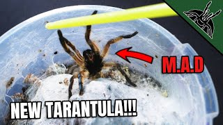 GOT TWO NEW TARANTULAS!
