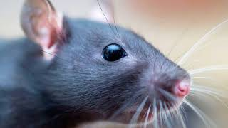 Как избавиться от крыс в доме навсегда народными средствами своими силами?