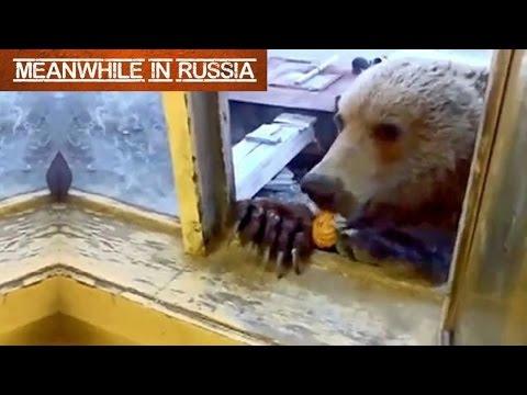 Russian Man Feeding A Wild Bear Through A Window