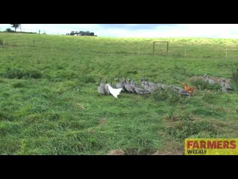 Keeping Guinea Fowl With Chickens