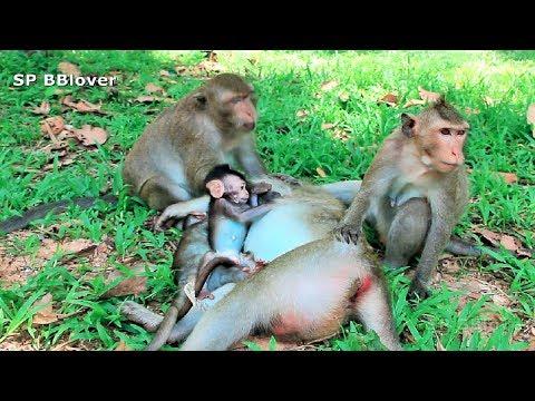 Nature Life Vivi Ep 39 -  Mom And Baby Massage Monkey During Sleep