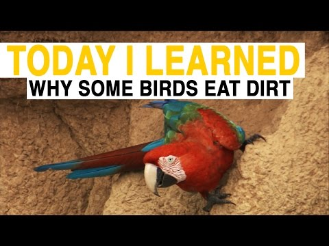 TIL: Why Do These Birds Eat Dirt? | Today I Learned