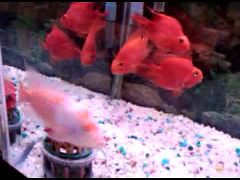 Red devil fish for sale youtube for Red devil fish for sale
