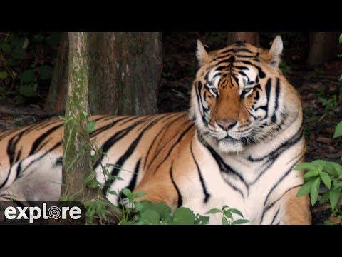 Live Tiger Cam - video of tigers at Big Cat Sanctuary