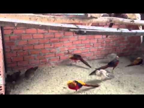 Bán chim trĩ 7 màu các loại