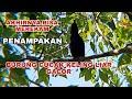 Akhirnya Bisa Mengambil  Burung Cucak Keling Gacor Dengan Jelas  Mp3 - Mp4 Download