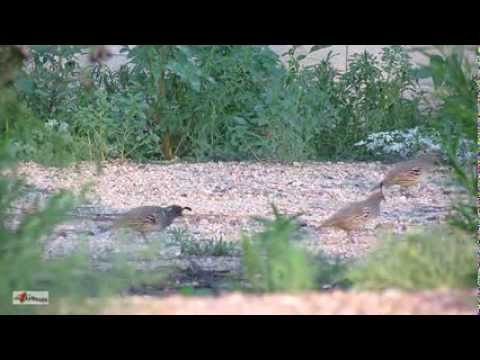 Quail Birds in Arizona ~ Slow and Fast Motion