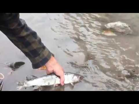 Dolly varden on the carbon river