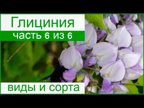 �� Виды и сорта глицинии (вистерии)