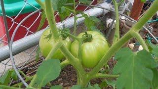 Gardening: Growing Heirloom Tomatoes from Seed