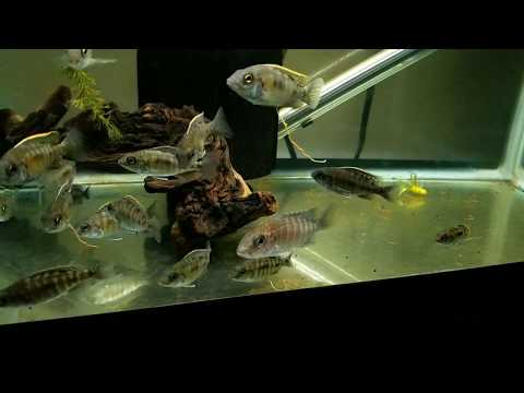 African Cichlid Aquarium/Fishtank Updates Ruby Red Breeding Group and Fry Growouts