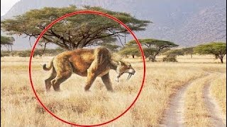 5 SABER-TOOTHED CAT CAUGHT ON CAMERA & SPOTTED IN REAL LIFE!