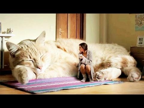 Le plus grand chat du monde !!! 😱